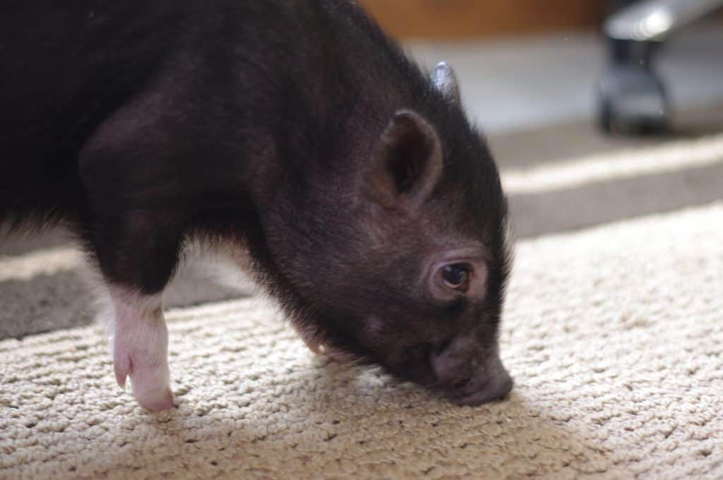 pig pee out of carpet
