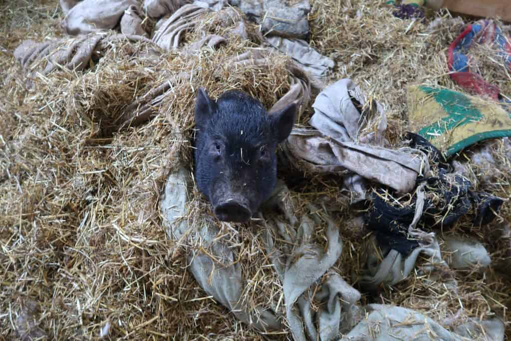 How to Find Mini Pigs For Cheap
