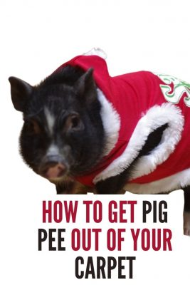 how to get pig pee out of carpets