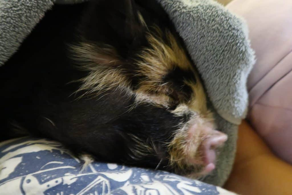 The Best Toys for Your Potbelly Pig