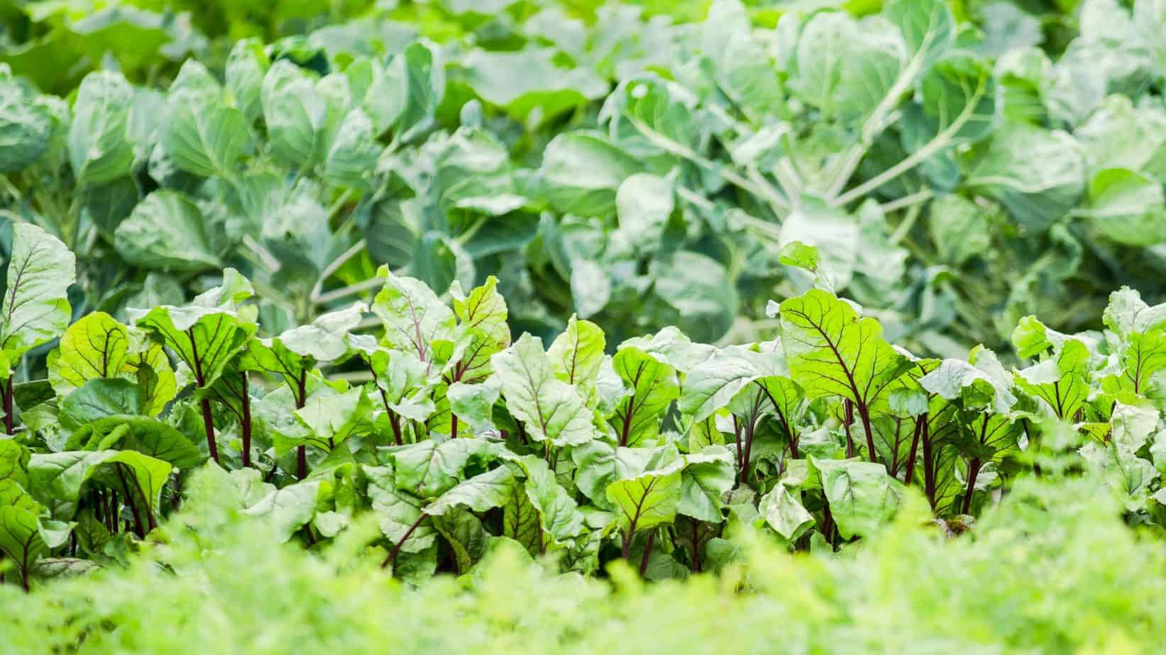 Don't Let Tall Plants Overshadow Your Other Vegetables