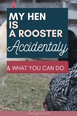 what to do if your hen is a rooster